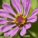 Purple zinnia and friend by Shotaku