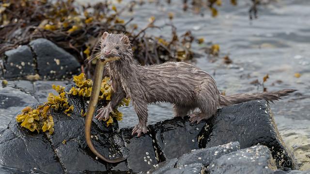 American mink (Neovison vison)