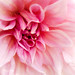 PinkThoughts... by Sylvie.
