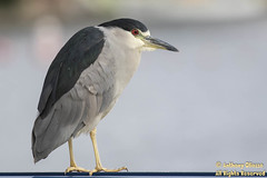 Black-crowned Night-Heron (9227)