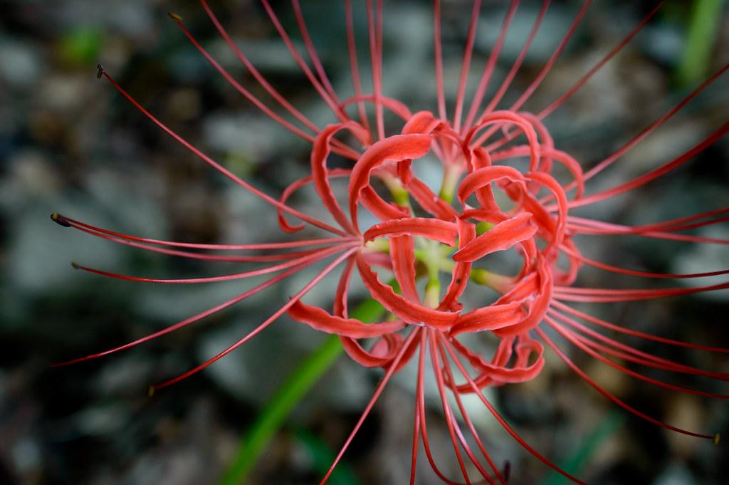 彼岸花 / Spider lily