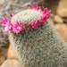 Mammillaria meyranii - Photo (c) Maja Dumat, some rights reserved (CC BY)