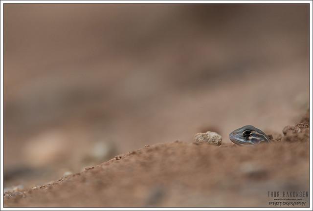 Leiolepis belliana