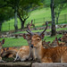 Deers at the foot of the Wakakusa