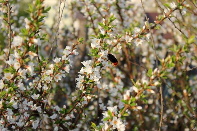 Вишня войлочная и мохножоп :о) Prunus tomentosa (Cerasus tomentosa, Rosaceae) & bumblebee.