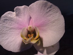 flower, macro photography, flora, moth orchid, close-up, pink, petal,