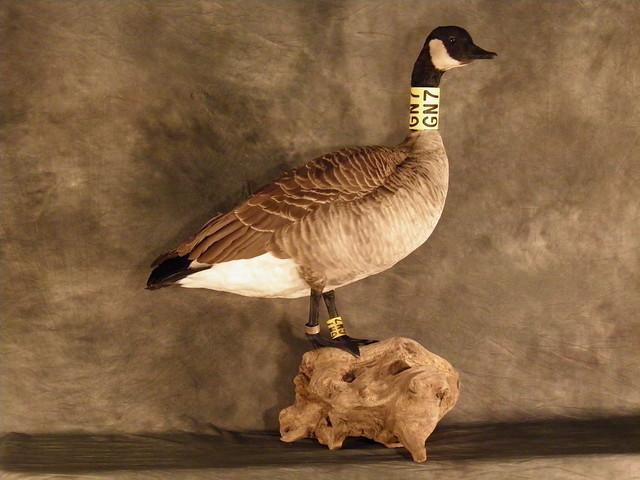 canada goose banff parka forum