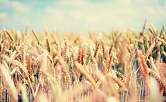[Free Images] Flowers / Plants, Wheat, Field / Farm ID:201205210600