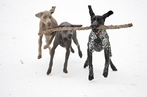 pointers rule, weimaraners drool!
