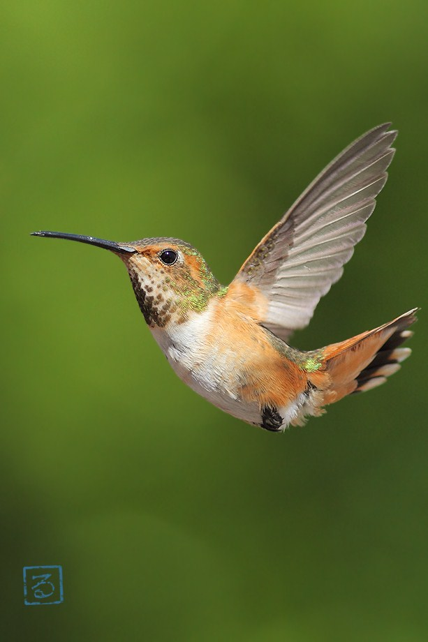 Allen's Hummingbird 051812-5