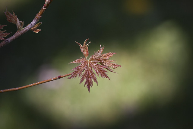 new maple leaf in sun