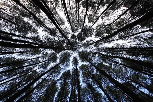 trees tree yogyakarta hutan pinus imogiri