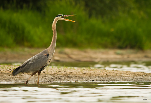 Great Blue Heron Osprey Marsh Mississauga Ontario Canada by gashphoto