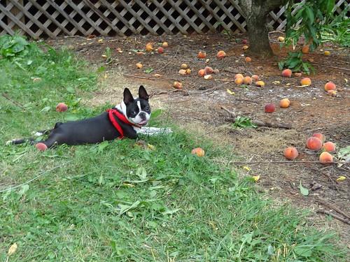 Peach Picking June 2012 (24)