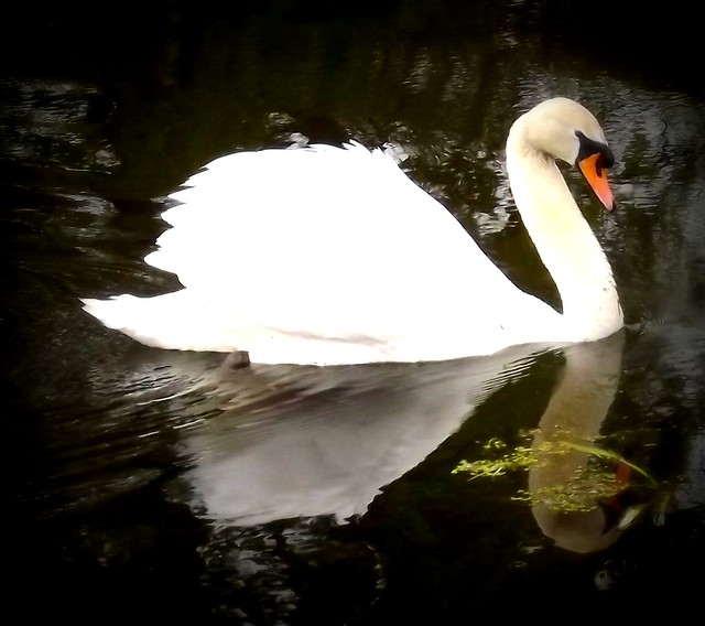 Stunning Swan, Fujifilm FinePix S3380