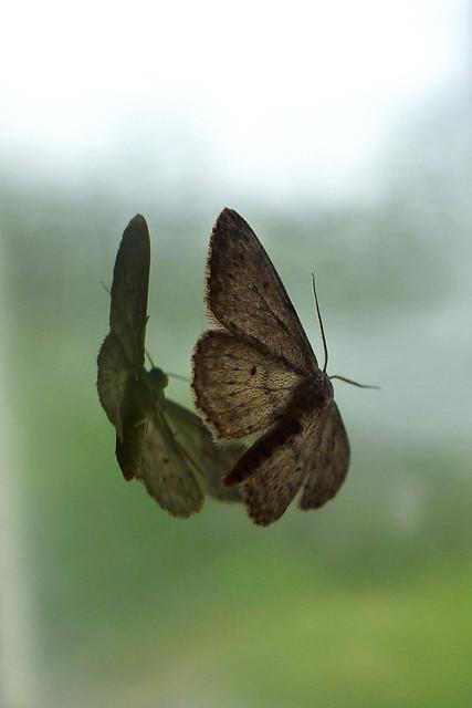 moth both