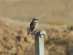 Bay-backed Shrike 2