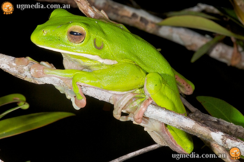 White-lipped tree frog (Litoria infrafrenata)