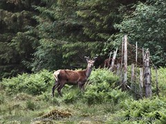 Red deer 8/10