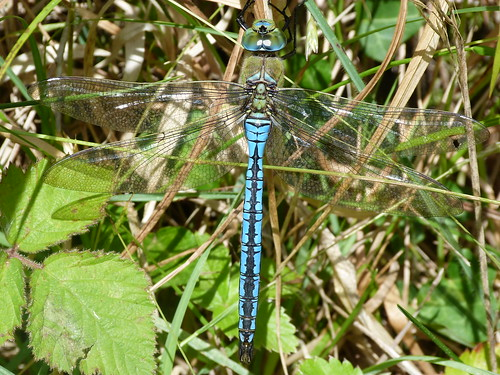 Emperor Dragonfly (Anax imperator) by Peter Orchard