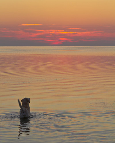 yellow Labrador 'Sedona' looking at the sunset