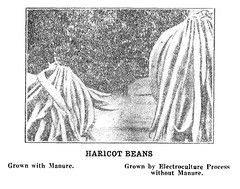 Haricot bean comparison: control vs electrically-stimulated