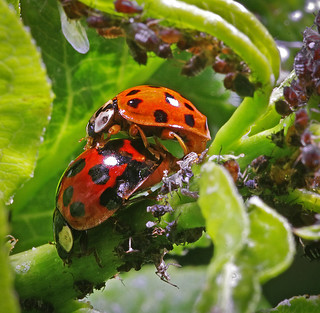 ladybugs in paradise