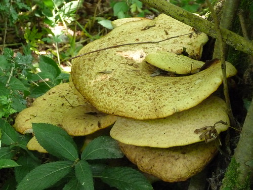 Dryads Saddle (Polyporus squamosus) by Peter Orchard