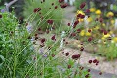 SANGUISORBA officinalis 'Morning Select'
