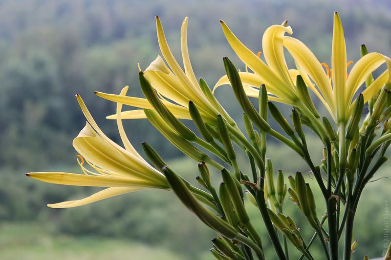 hemerocallis citrina cv. — Лилейник цитрина, или красноднев лимонно-жёлтый