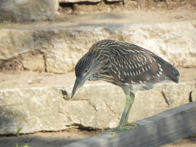 Juvenile black-crowned night heron (Nycticorax nycticorax). Credit: Richard Pallardy