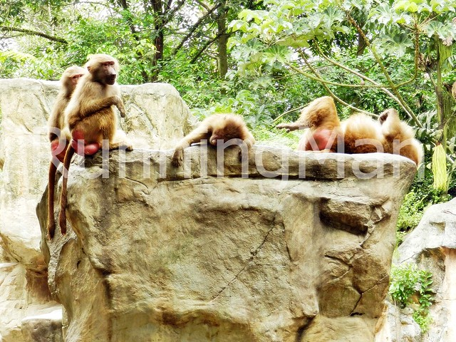Singapore Zoo 04