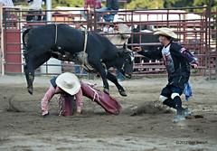 western riding(0.0), equestrian sport(0.0), tradition(0.0), barrel racing(0.0), animal sports(1.0), rodeo(1.0), cattle-like mammal(1.0), bull(1.0), event(1.0), sports(1.0), charreada(1.0), matador(1.0), bull riding(1.0),