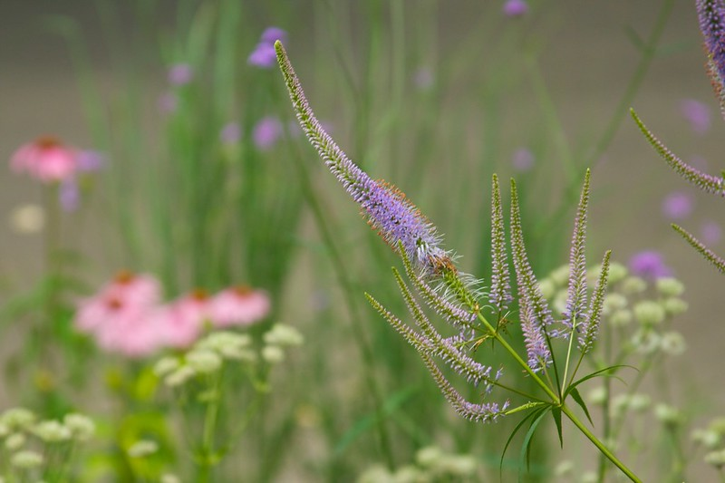 veronicastrum fascination  1837