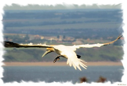 Gannet in flight over Bempton Cliffs RSPB reserve