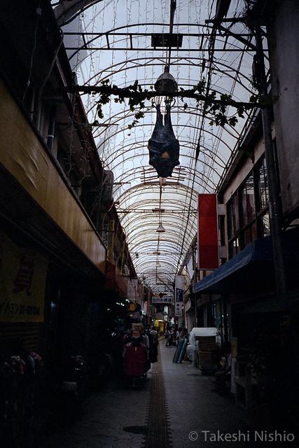むつみ橋通りにぶらさがるオオコウモリ / Megabat, hanging at Mutsumi-bashi-dori