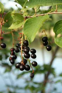 Chokecherries, ripe