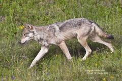 wolf_MG_7255