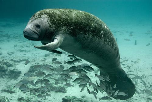 [フリー画像素材] 動物 1, 哺乳類, マナティー ID:201210110400