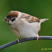 Tree Sparrow Perched