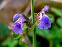 Aromáticas da miña horta: Salvia (Salvia officinalis)