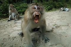 japanese macaque(0.0), animal(1.0), baboon(1.0), monkey(1.0), mammal(1.0), fauna(1.0), old world monkey(1.0), macaque(1.0), wildlife(1.0),