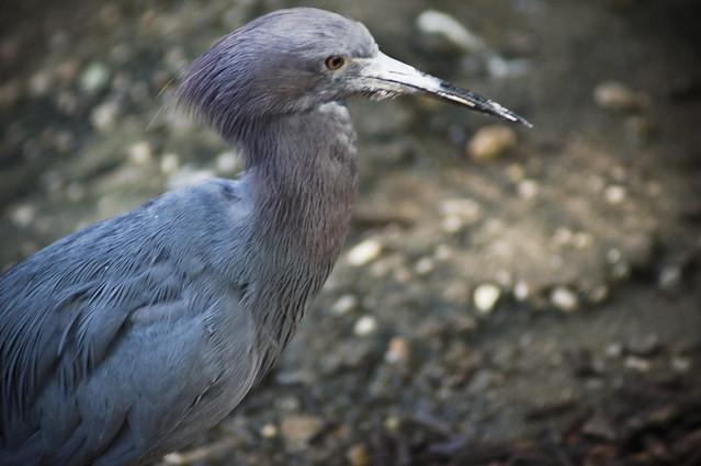 Type of Heron