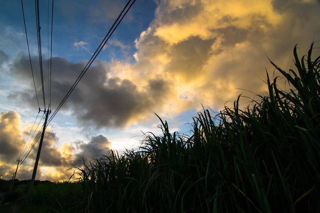 sugar canes and a sky