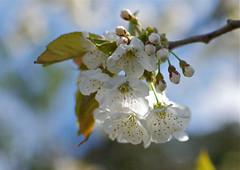 Delicate white blossom