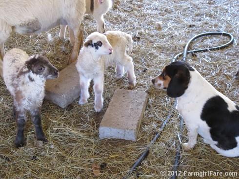 Random lamb snaps 2 - FarmgirlFare.com