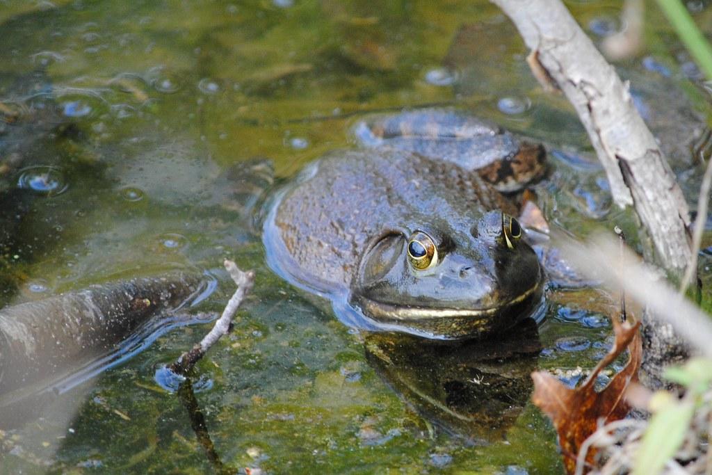 Лягушка-бык (bullfrog)