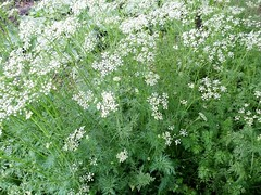 apiales, shrub, flower, cow parsley, cicely, plant, subshrub, anthriscus, chervil, meadowsweet,