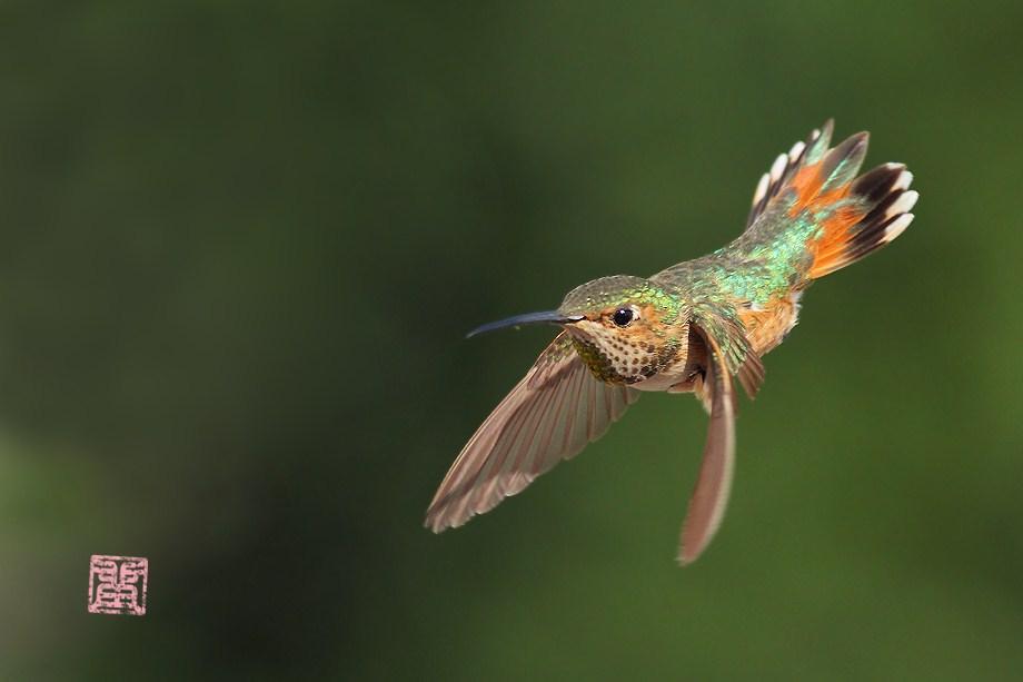 Allen's Hummingbird050112