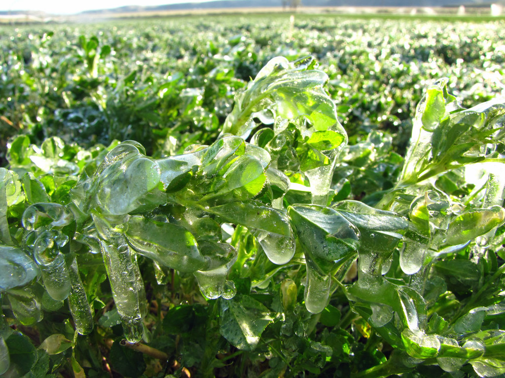 Iced Alfalfa
